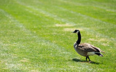 How To (Safely) Keep Geese Off Your Property